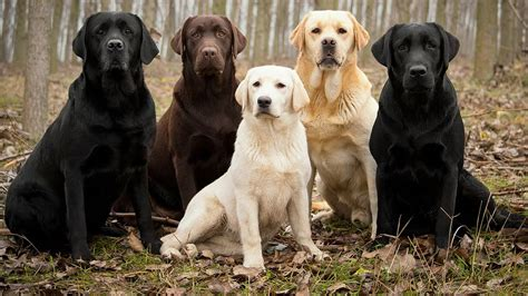 lab puppies pictures labrador retriever facts