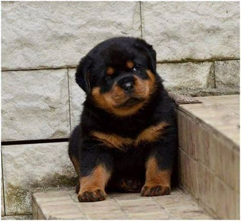 how much do rottweilers eat 25 best ideas about rottweiler puppies on baby rottweiler rottweiler