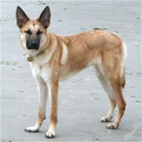 chinook dog breed facts  information