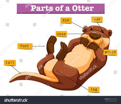 sea otter diagram diagram showing parts otter illustration stock vector