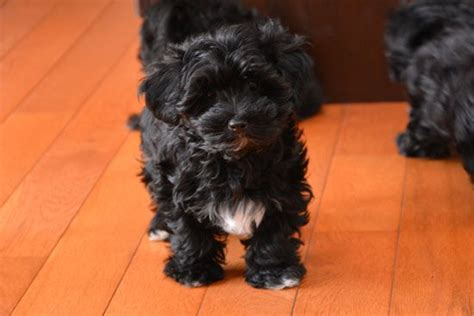 yorkie poo puppies for sale in south carolina 25 b 228 sta yorkie poo puppies id 233 erna p 229 teacup yorkie maltipoo och yorkie