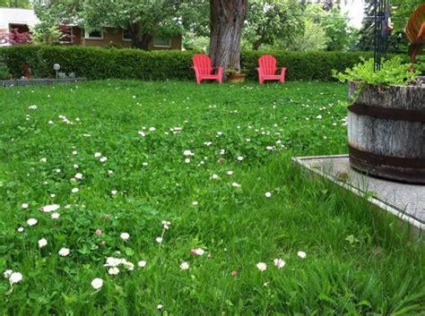 alternatives to grass in backyard no mow lawn chamomile clover yarrow yardening
