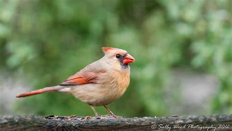 northern virginia birds sally wood nature photography