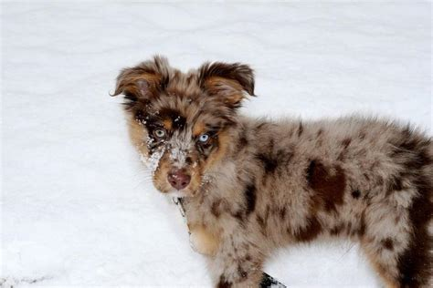 australian shepherd puppy cost unique colored australian shepherd puppy in snow jpg hi res 720p hd