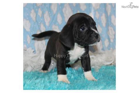 black puggle puppies puggle black