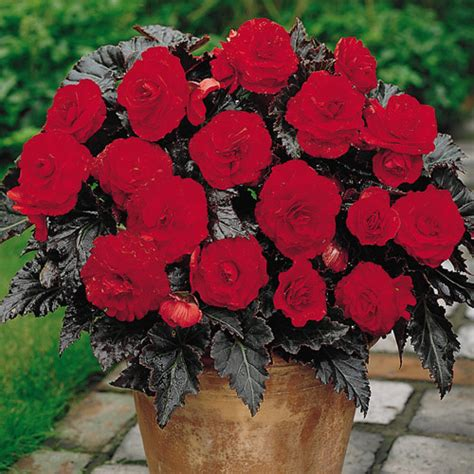 deer resistant begonia switzerland