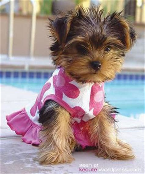 pretty yorkies the