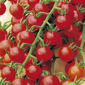 Biji Tomat Indigo jual bibit sayuran jual bibit bunga murah