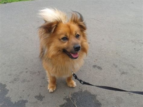 staffy x pomeranian toby 2 year pomeranian cross for adoption
