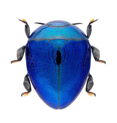 Amazing Beetles blue bug beetles bugs and insects