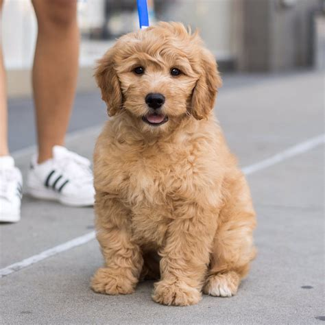 mini goldendoodles island ny the dogist on quot maxx miniature goldendoodle 2 m