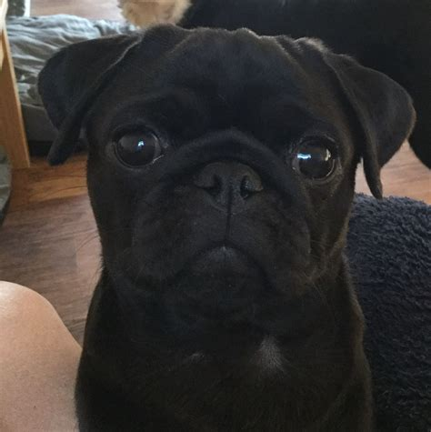 pug studs black pug stud proven fully health tested 4 stud norwich norfolk pets4homes