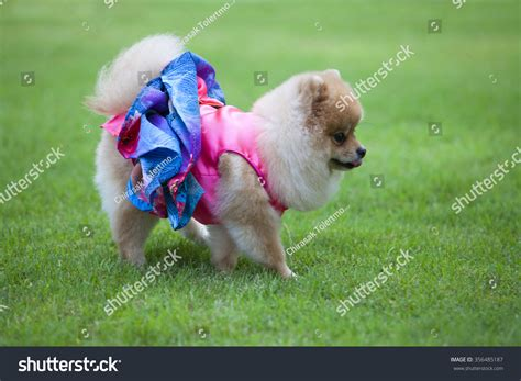 pomeranian wearing clothes pomeranian on the lawn it wear clothes for and clothes of pom has ping and