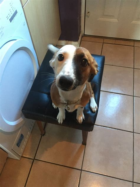 8 month puppy quot quot beautiful 8 month puppy knutsford cheshire pets4homes