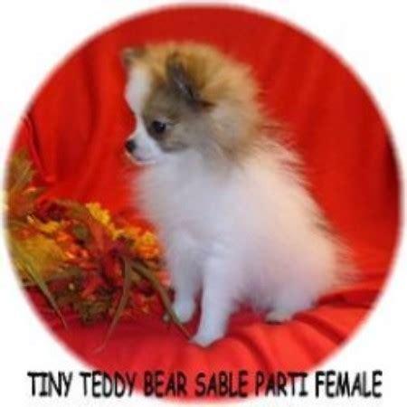 teddy pomeranian breeders california teddy pomeranian puppies for sale in california