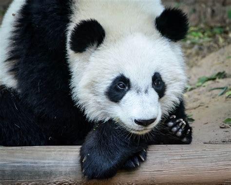 baby panda one of a set of at the atlanta zoo