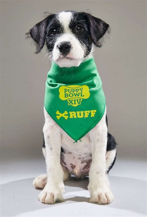 animal planet puppy bowl adoptions puppies rescued after hurricane to in puppy bowl breaking us news