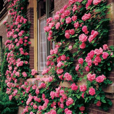 roses pink climbing rose seeds 10 seeds was sold for r15 00 on 10 dec at 17 31 by izakvdm in