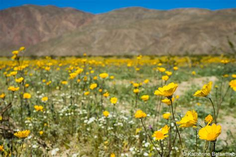 anza borrego henderson canyon hurry to see anza borrego wildflowers before they re gone