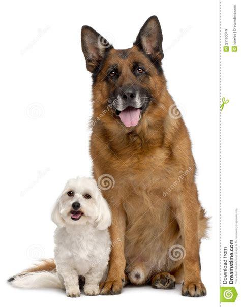 maltese german shepherd puppies german shepherd 11 years and maltese royalty free stock images image 21160649