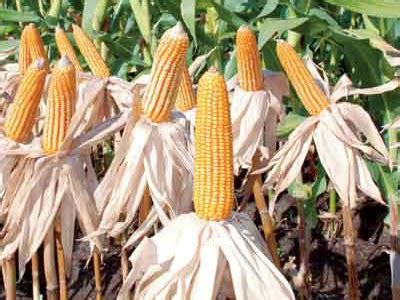 Bibit Jagung Unggulan hkti sulap tanah tandus samosir menjadi ladang jagung