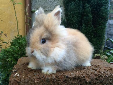 alimentazione conigli nani meravigliosa cucciola testa di la stalla dei