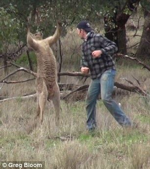 kangaroo has in headlock fights kangaroo in australia to save his pet daily mail entertainment