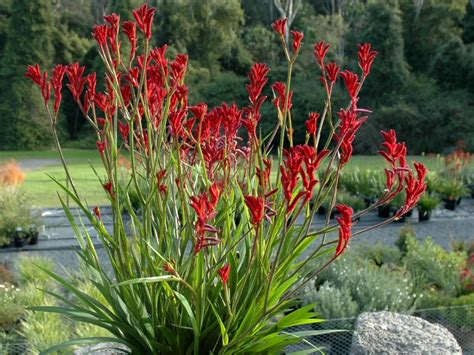 kangaroo paw www pixshark com images galleries with a