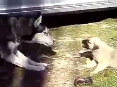 Huskies Turkis siberian husky vs kurdish kangal