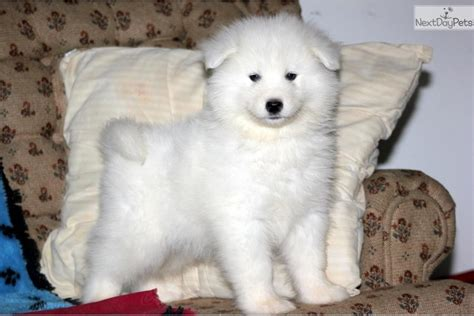 samoyed puppy price samoyed puppy for sale near lancaster pennsylvania 153bd7fa 1e61