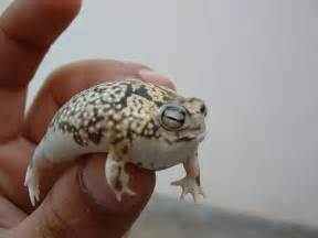 The Desert Rain Frog - Cutest Frog in the World - Scientia
