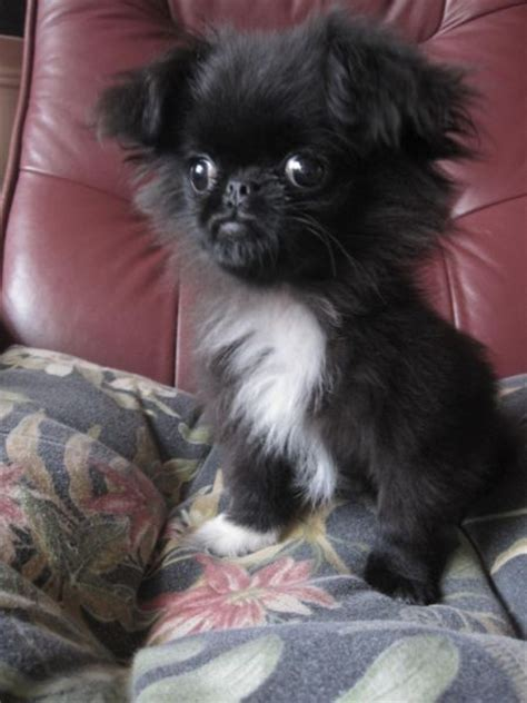 pekingese pomeranian apparently this puppy is a japanese chin x peke x pomeranian mix not sure if he s