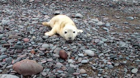 baby seal pup newborn seal pup