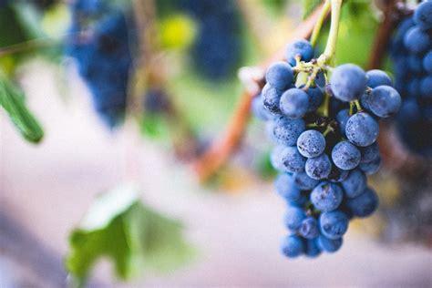 imagenes de uvas reales 191 cu 225 les son las partes de la uva descubre su composici 243 n