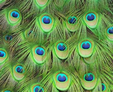 peacock template peacock design patterns www imgkid the image kid