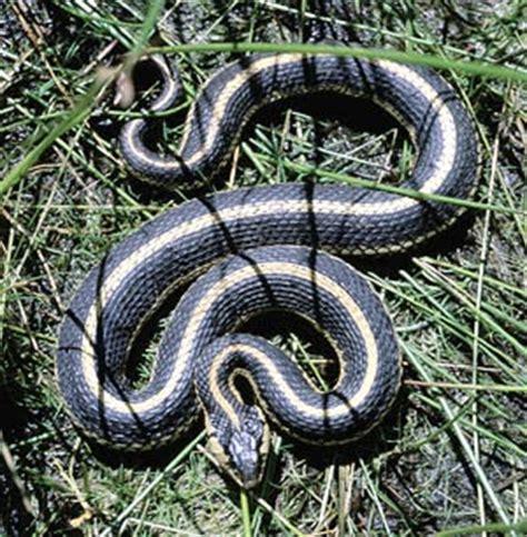 Garter Snake Facts Garter Snake Facts About All