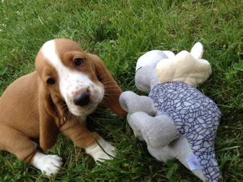 beagle hound mix puppies for sale beagle basset hound mix puppies for sale www imgkid the image kid has it