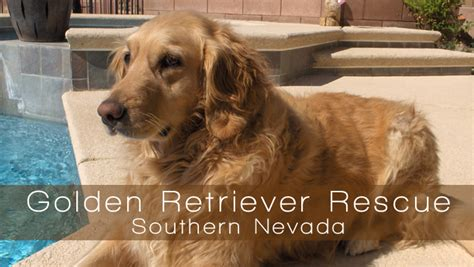 golden retriever rescue southern nevada golden retriever rescue southern nevada for furever homes