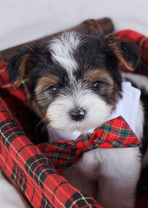 biewer yorkie florida biewer terrier puppies for sale teacups puppies teacups puppies boutique
