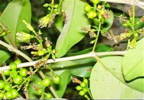 Benalu Teh Yang Asli jenis jenis tanaman obat herbal kandungan manfaat serta