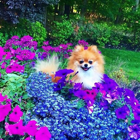 purple pomeranian saved from