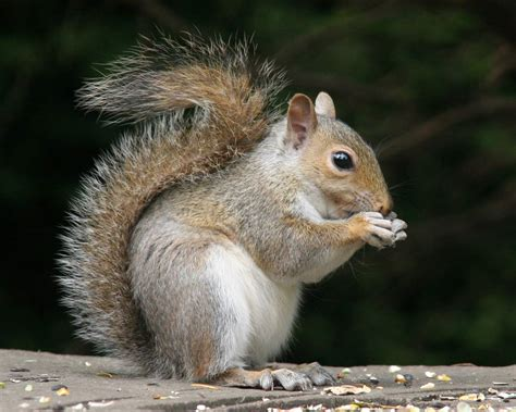 squirrel history and some interesting facts