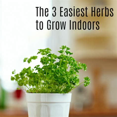 easy herbs to grow inside the 3 easiest herbs to grow indoors herb gardening info