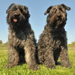 bouvier dogs bouvier des flandres breed information and facts
