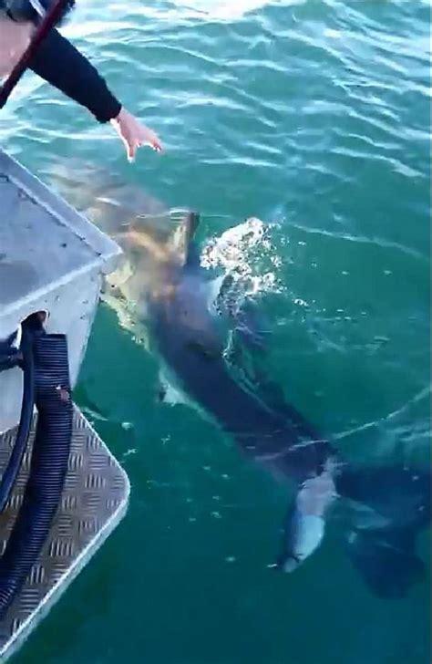 shark bites boat great white shark bites boat off nsw coast daily mail online