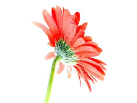 orange gerbera flowers wallpapers wallpaper202