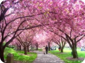 pictures of cherry blossom trees hello kitty japan cherry blossom forecast 2012