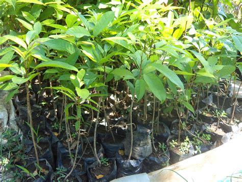 Bibit Srikaya Durian jual bibit srikaya kualitas unggul