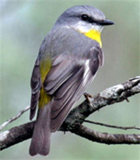 eastern yellow robin birds in backyards