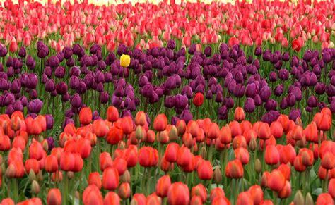 gambar menanam bidang ungu daun bunga bunga tulp